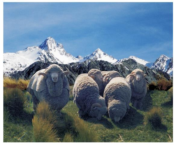 NZ Merino Sheep